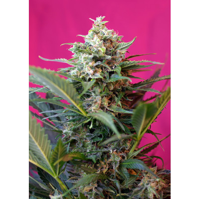 Auto Big Devil XL Sweet Seeds