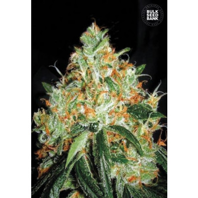 Original Orange Bud